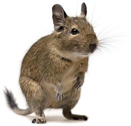 Degu (Čilės voverė)