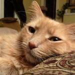 Katė ilsisi ant pagalvės