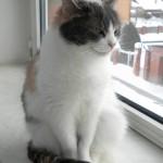 Naminė katė prie lango