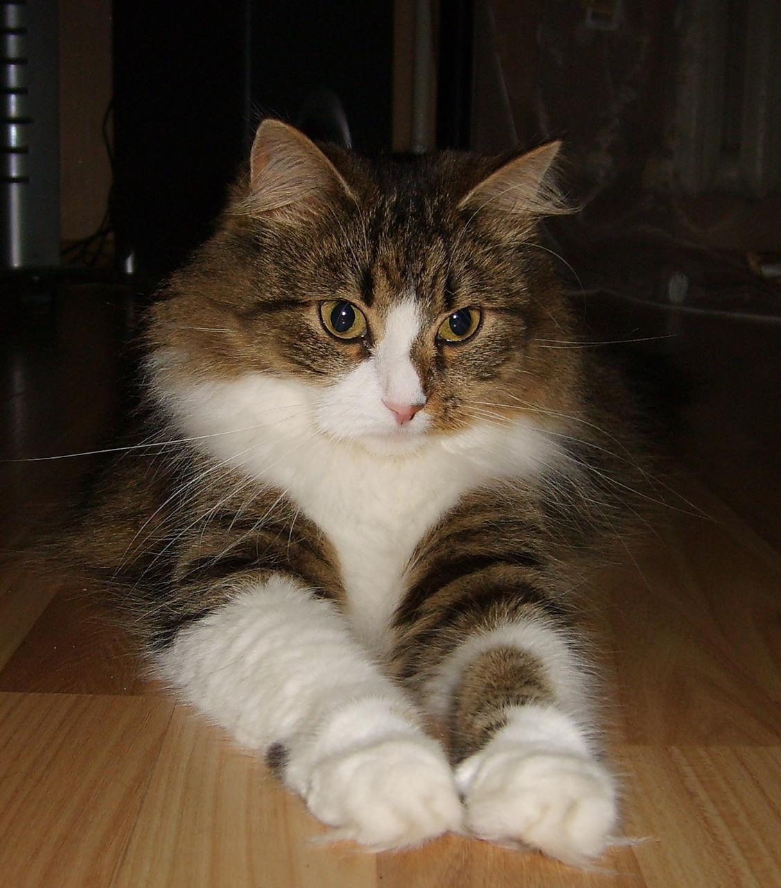 Naminė katė
