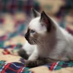 Siamo kačiukas