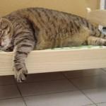 Stambus katinas asmeninėje lovoje