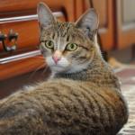 Žaliaakė katė