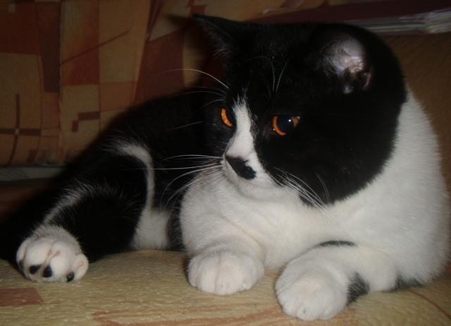 Britų juodai-balta katė