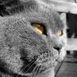 Britų katinas žiūri į tolį