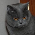 Britų mėlynoji katė