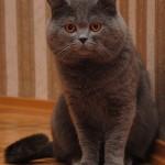 Britų trumpaplaukis katinas