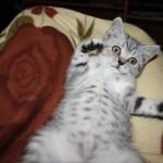 Britų veislės kačiukas