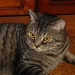 Dryžuotas britų veislės katinas