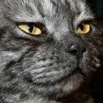 Išdidus britų katino žvilgsnis