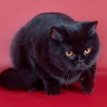 Juodos britų veislės katė