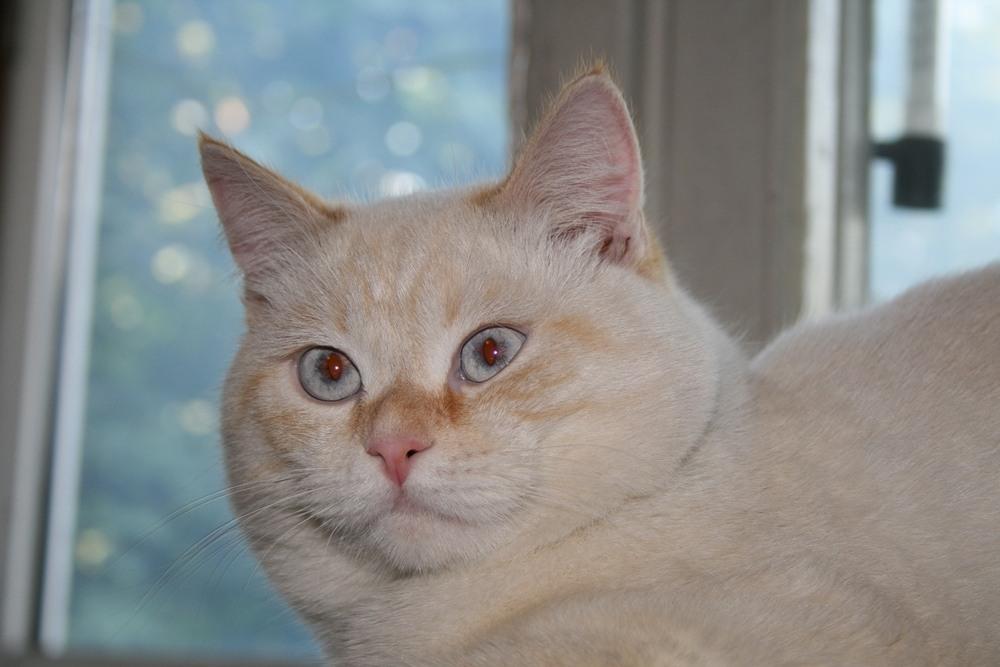 Kreminės spalvos britų katinas