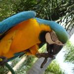 Mėlynai-geltona ara