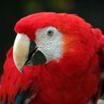 Papūga raudonoji ara