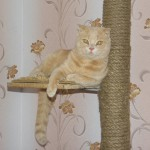 Ryžas britų katinas