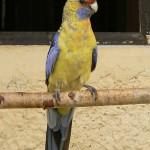 Šiaudų spalvos rozela