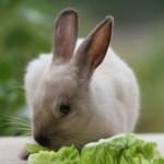 Triušis kramto salotos lapą
