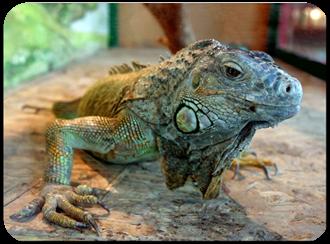 Idomus faktai apie iguanas