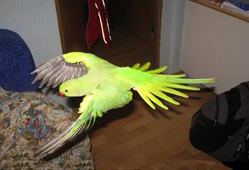 Kaip pagauti papuga