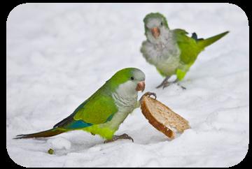 Idomus faktai apie papugas
