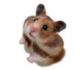 Žiurkėnai